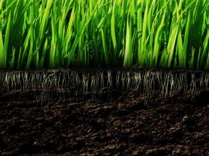 LM Grass
