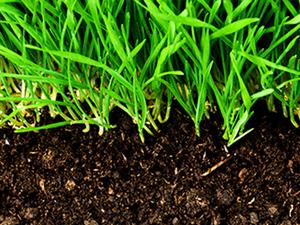 Kikuyu Grass